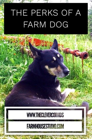 Good ol' Rocky was such a great farm dog. He had a soft gentle nature, but don't be fooled. He'd protect you from any wild animal when he needed to. He knew how to communicate with us and we loved having him with us at the farm. What a good boy. #dog #farmdog #homestead #farmstead #protector #blog