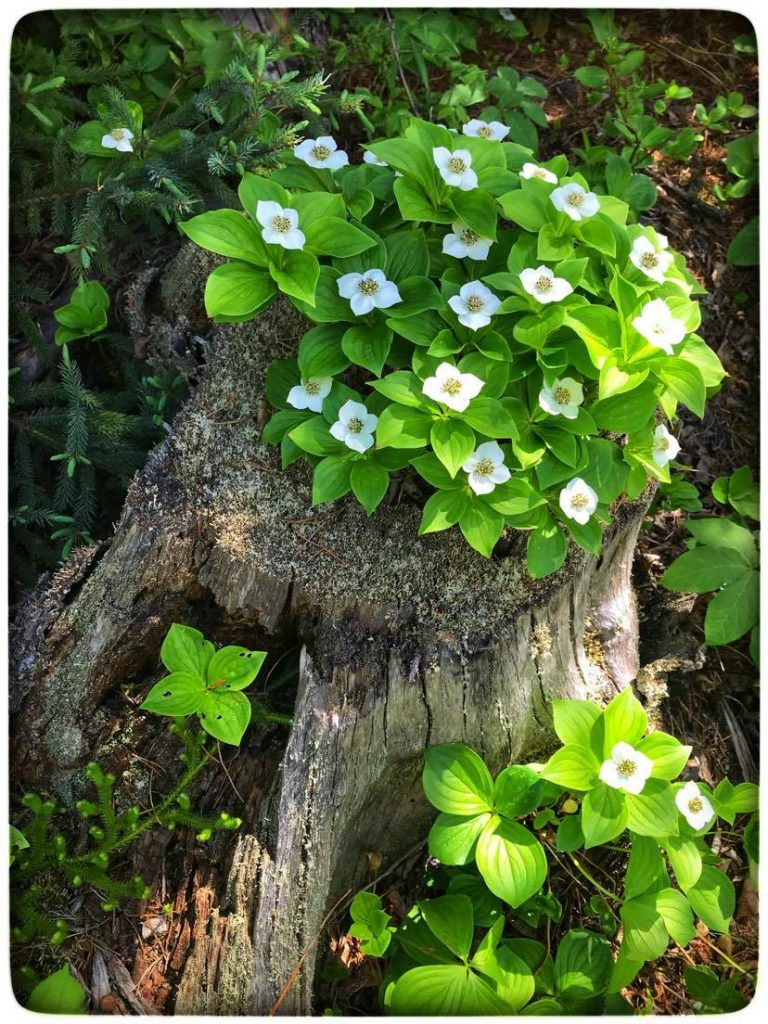 these bunch berry plants on an old rotten stump creates a delightful nature photograph